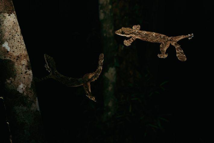 A lagartixa-voadora de Kuhl