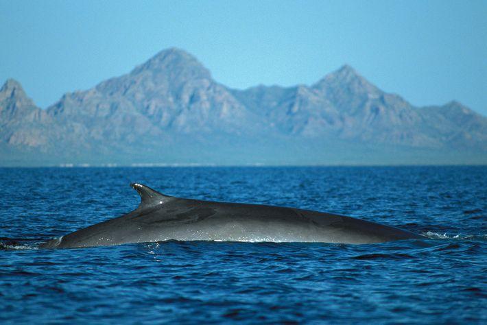 No século XX, as populações de baleia-comum foram gravemente afetadas pela baleação, e os animais ainda ...