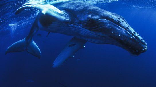 Baleias-corcundas.