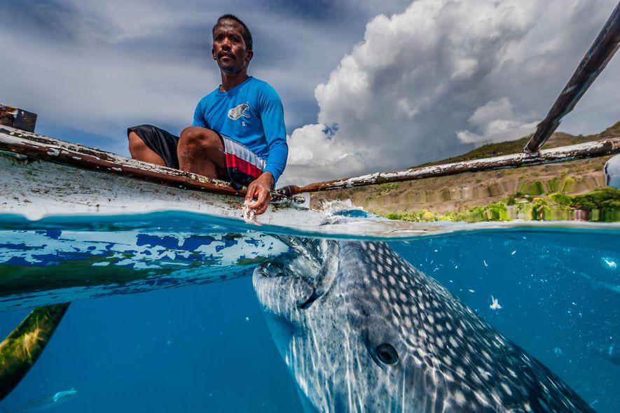 Quase todos os tubarões-baleia que visitam Oslob são juvenis machos. A maioria deles são visitantes temporários, ...