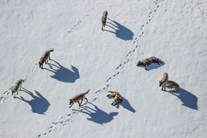 Uma matilha de lobos investiga pegadas de urso-pardo, em Pelican Valley, Yellowstone.