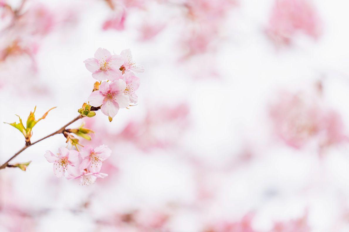 As delicadas e fugazes flores de cerejeira atingem o pico cerca de duas semanas após desabrocharem. ...