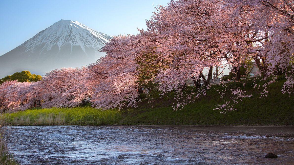 O sol a nascer no Monte Fuji projeta um brilho quente nas árvores de cerejeira. O ...