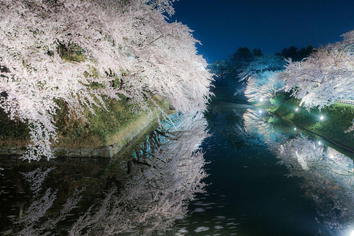 Quando o sol se põe, a hanami passa a yozakura. As árvores de cerejeira são iluminadas ...