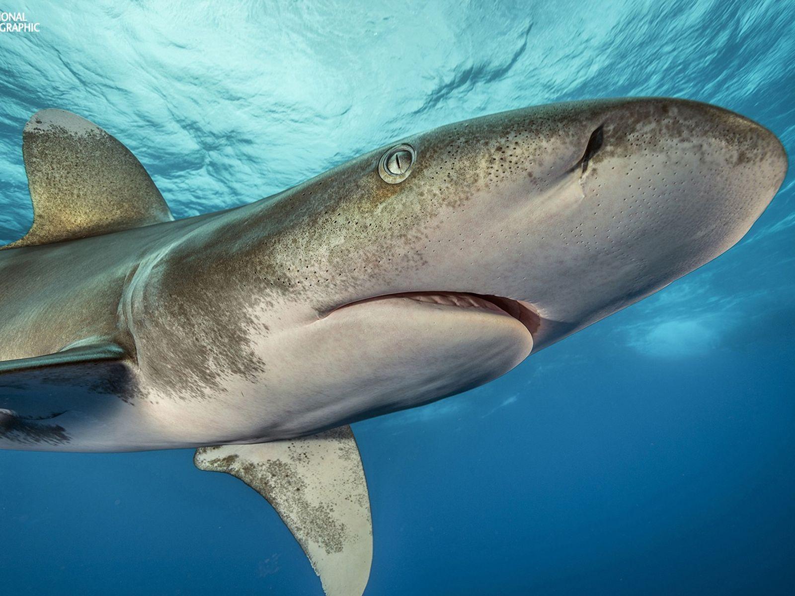 Fotografia de tubarão-de-pontas-brancas