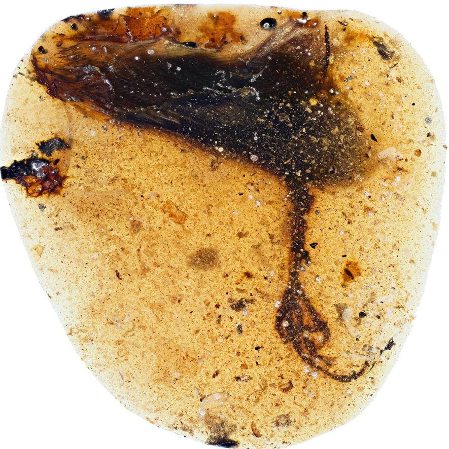 O fóssil da recém-descoberta espécie de enantiornitinos foi encontrado enterrado em âmbar, no Myanmar.