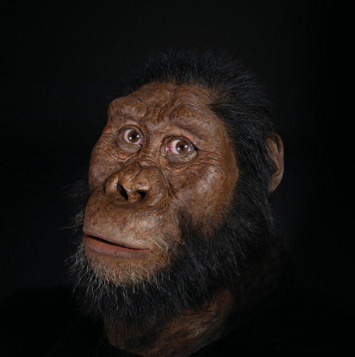 """O paleoartista John Gurche reconstruiu a face do """"Australopithecus anamensis"""" através do mapeamento em 3D do ..."""