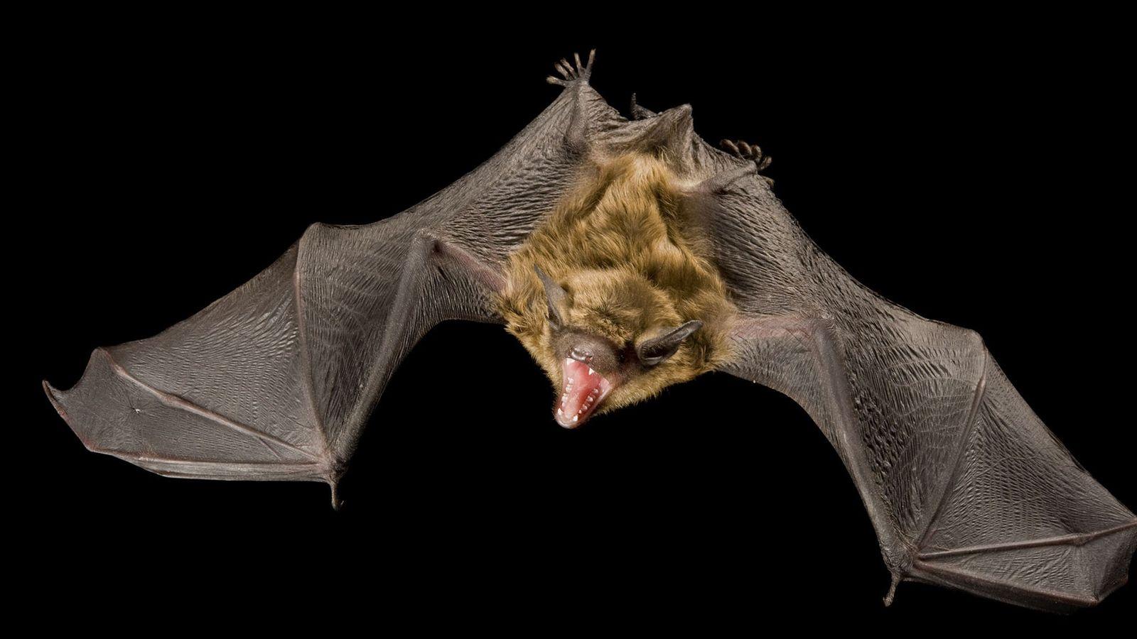 Um morcego castanho grande, Eptesicus fuscus.