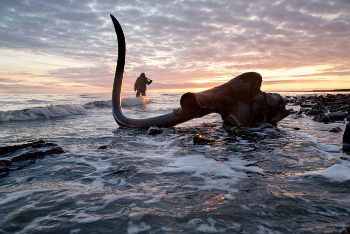 Dente original de um mamute descoberto