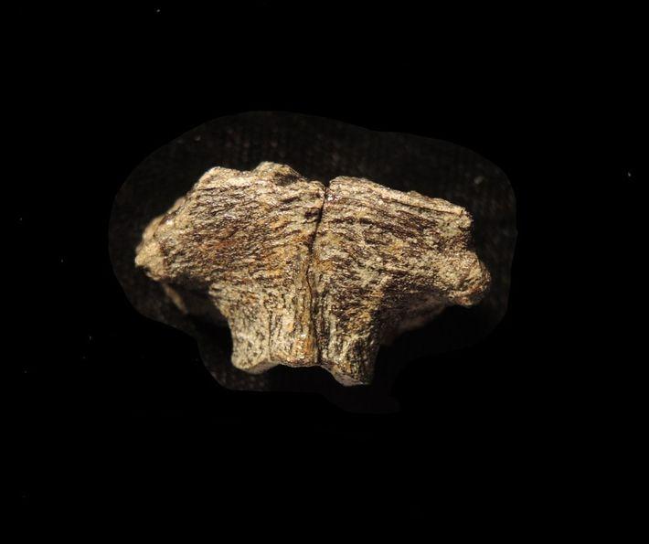 Os investigadores descobriram as células excecionalmente bem preservadas no supraoccipital, o osso que formava a parte ...