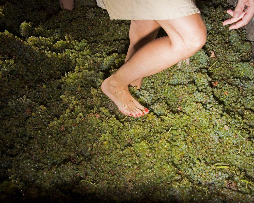 Numa propriedade em França, os habitantes locais recriam a pisa das uvas, o processo antigamente utilizado ...