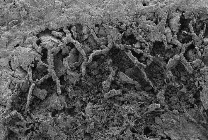 Os filamentos fúngicos fossilizados são visíveis no xisto que foi encontrado na República Democrática do Congo. ...