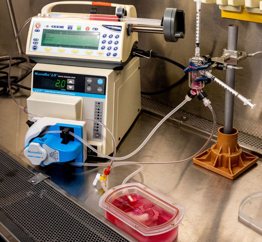 Um dispositivo chamado biorreator sustenta o mini-fígado, fornecendo-lhe oxigénio e nutrientes. Este sistema permite aos cientistas ...