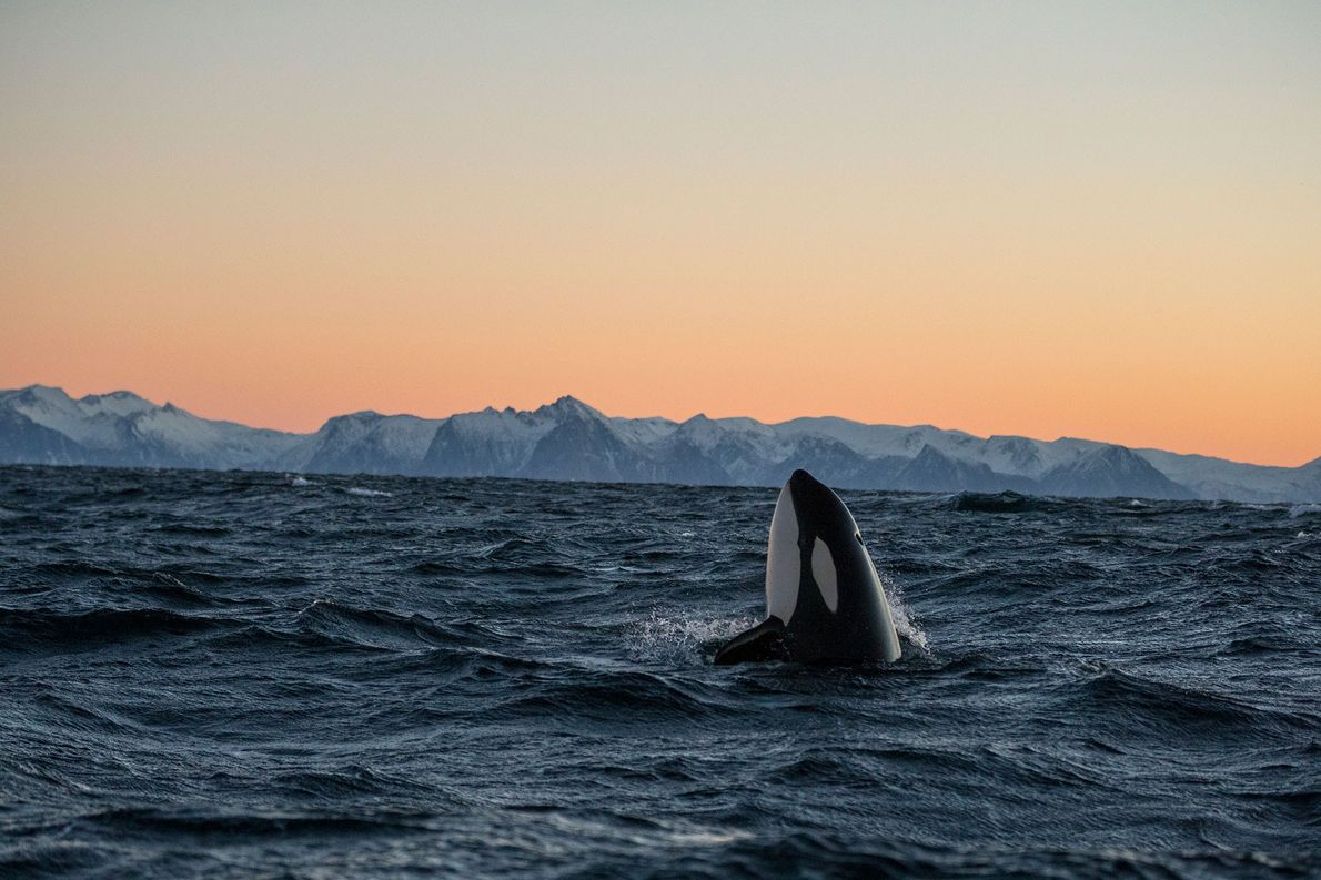 Uma orca emerge à superfície da água em Andfjorden, na Noruega.