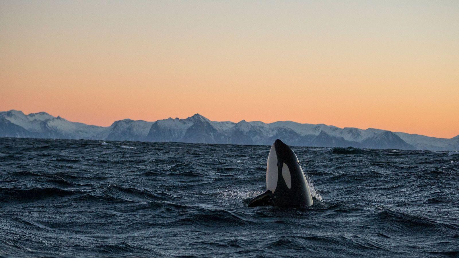 Uma orca emerge à superfície da água.