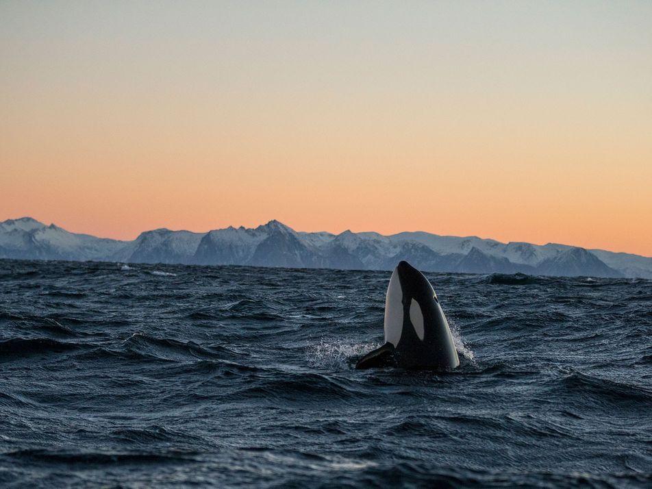 As Orcas Vigilam os Seus Mortos, Revelando Emoções Complexas
