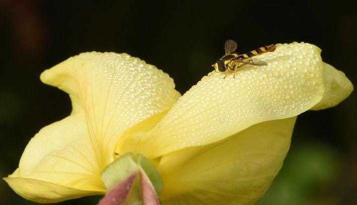mosca-das-flores castanha e amarela