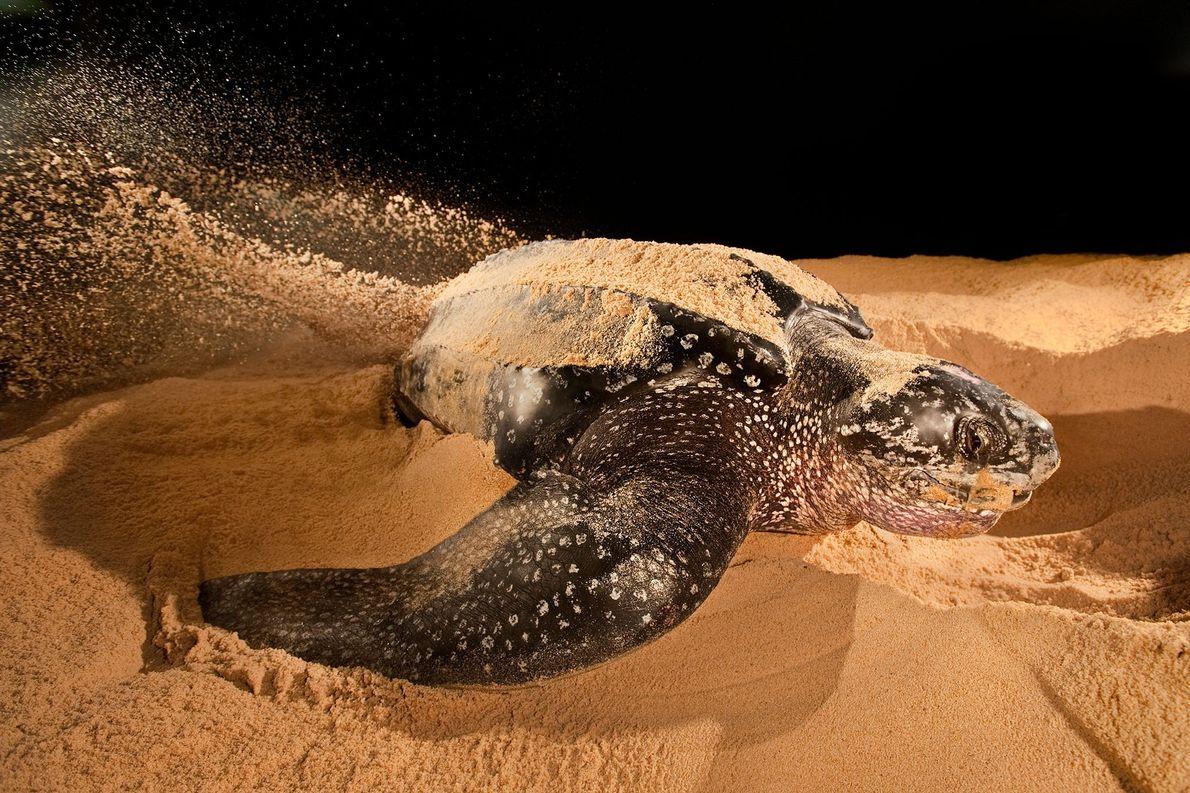 Uma tartaruga-de-couro.