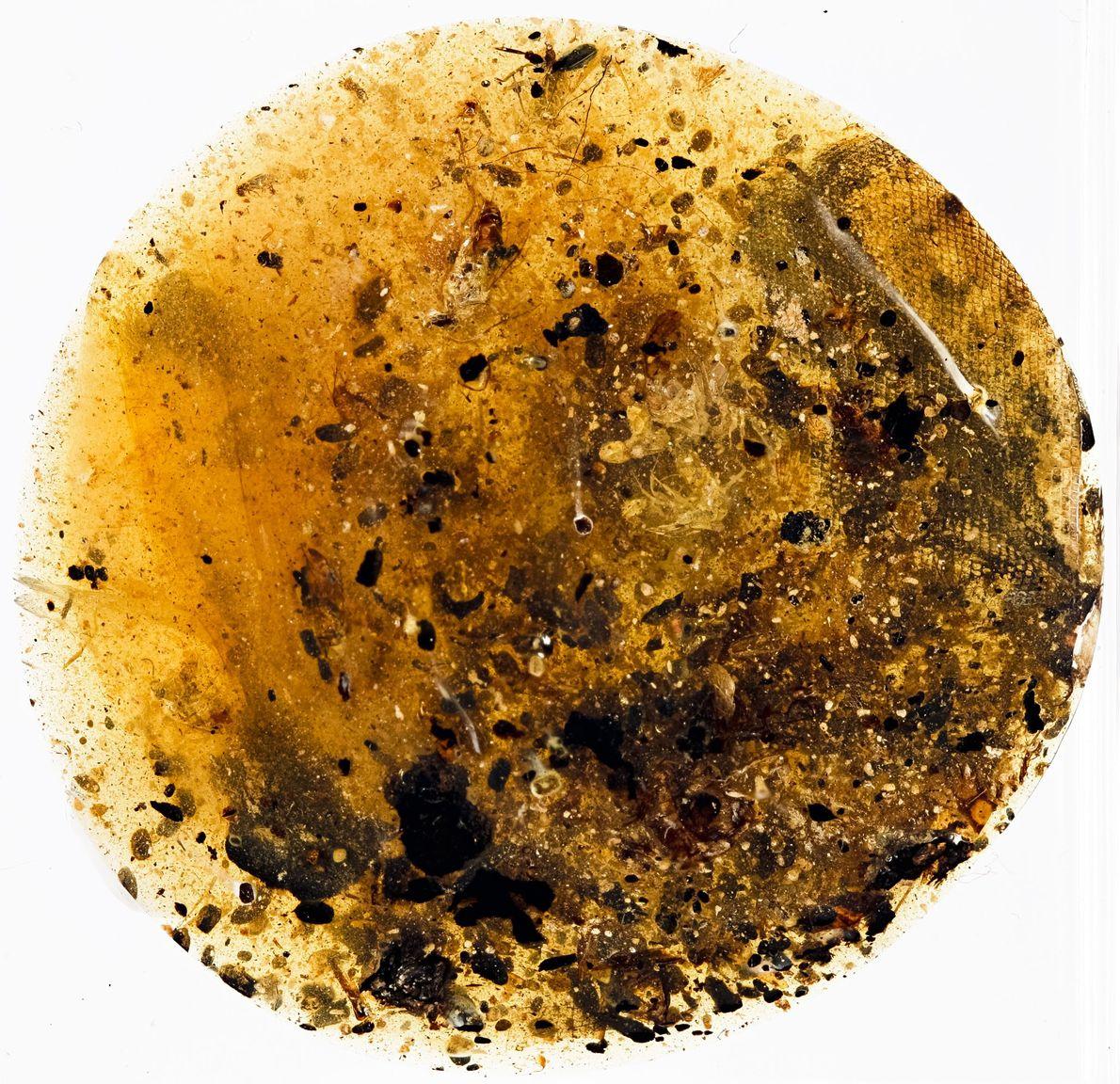 Um segundo fragmento de âmbar conserva uma possível amostra de pele de uma serpente primitiva.