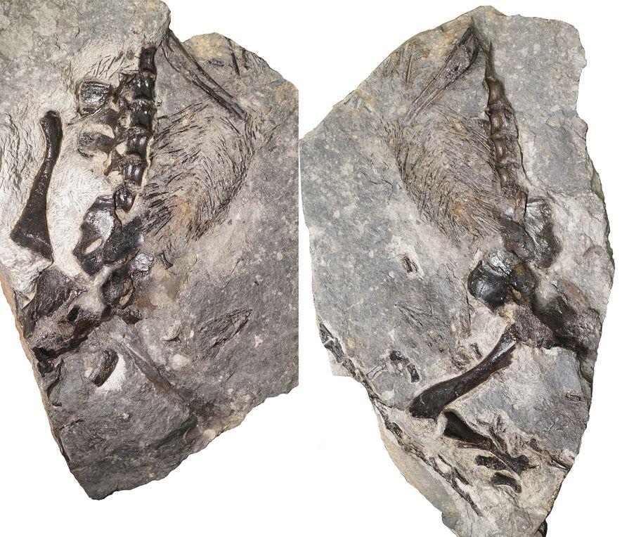 Estas fotografias mostram partes do recém-descoberto adulto Varanopidae que foi encontrado preservado dentro de um enorme ...