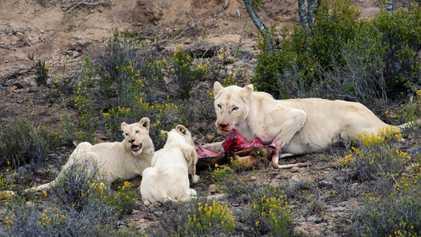Estes Animais Têm uma Particularidade: São Brancos