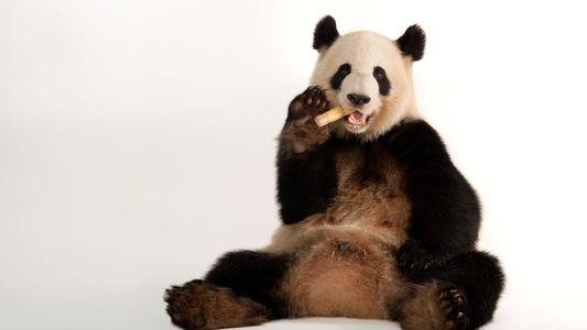 Os Pandas-gigantes Já Não São Considerados uma Espécie Ameaçada