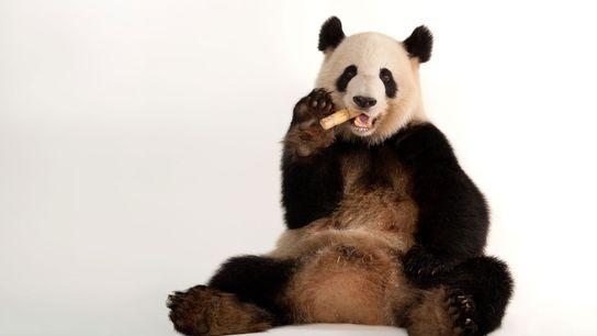 Um panda-gigante no Jardim Zoológico de Atlanta