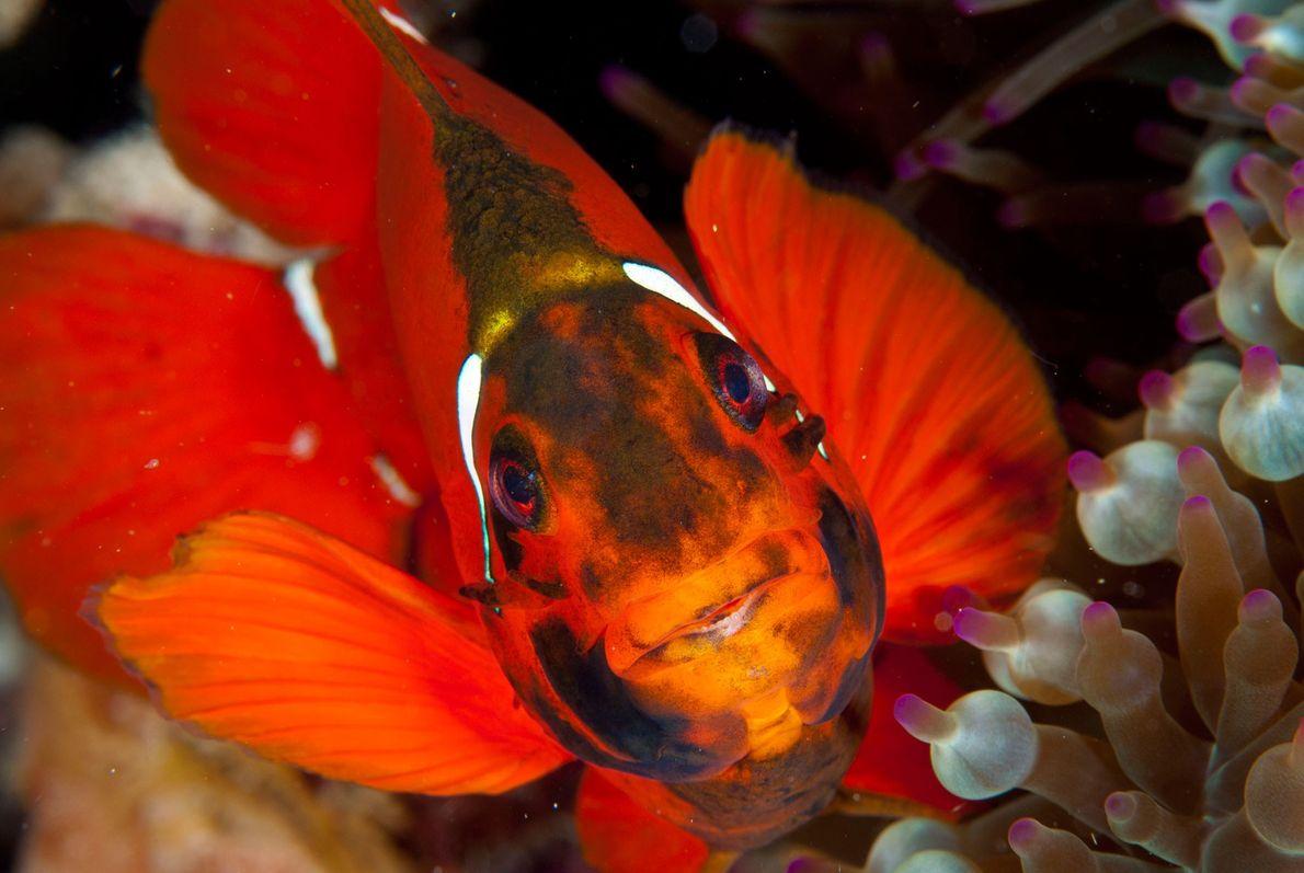 Um peixe, que habita entre anémonas.