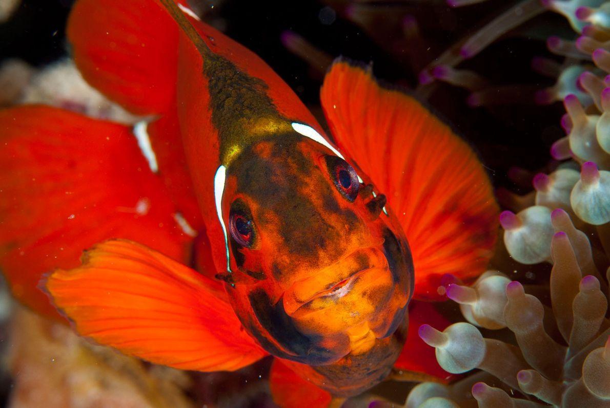 Um peixe, que habita entre anémonas, espreita do seu refúgio, na Grande Barreira de Coral. A …