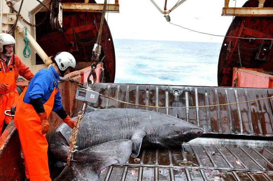Tubarão da Gronelândia