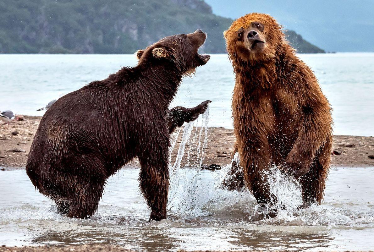 Dois ursos-pardos digladiam-se em Kamchatka, na Rússia.