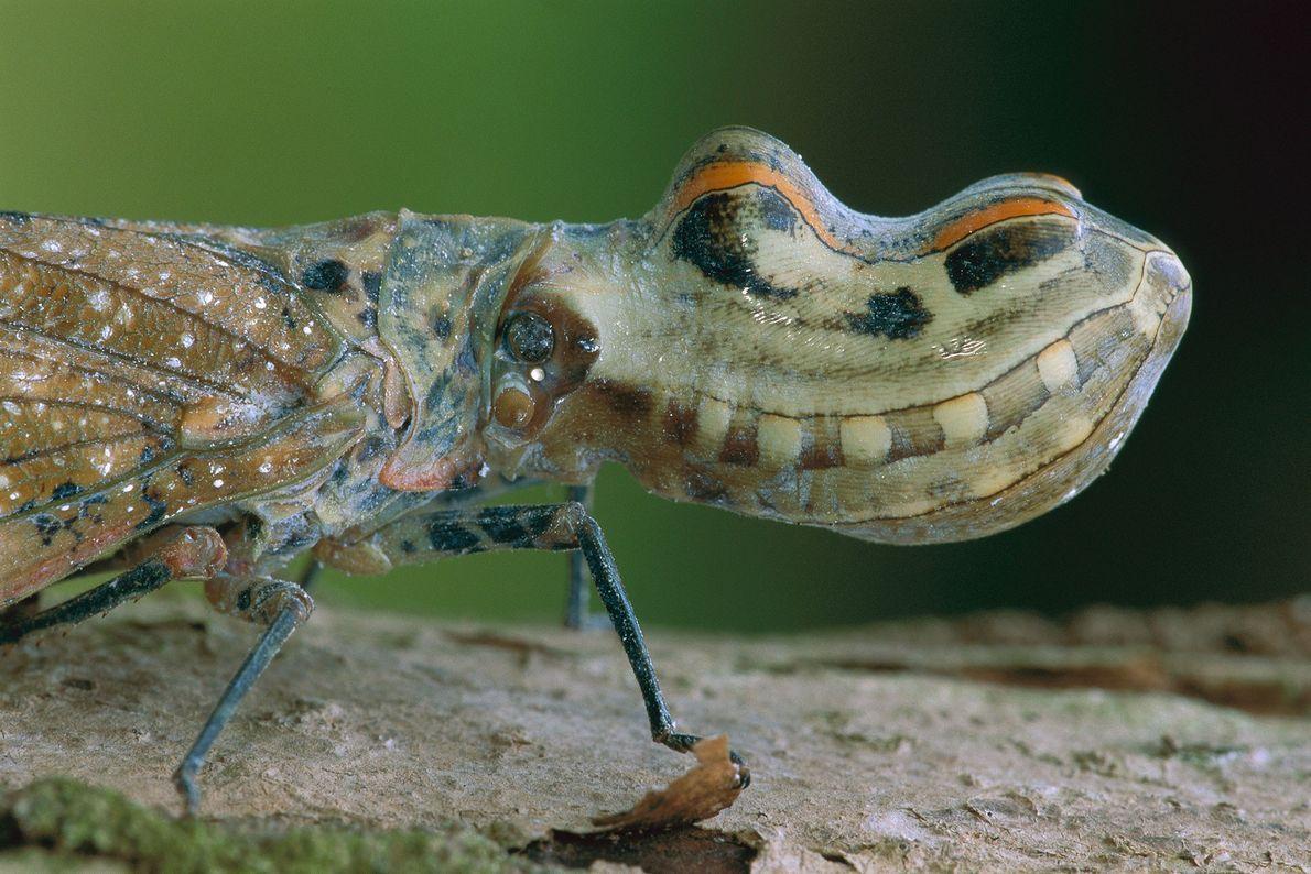 O inseto-jacaré, aqui fotografado na Colômbia, usa a estrutura oca que tem na cabeça para se ...