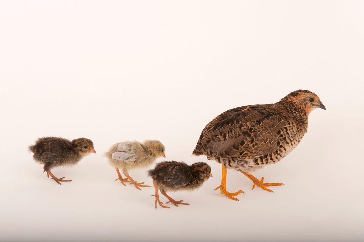 SIGAM O LÍDER Uma codorniz-da-china (Coturnix chinensis), também conhecida como codorniz-pintada-da-china, conduz as suas crias em grande …