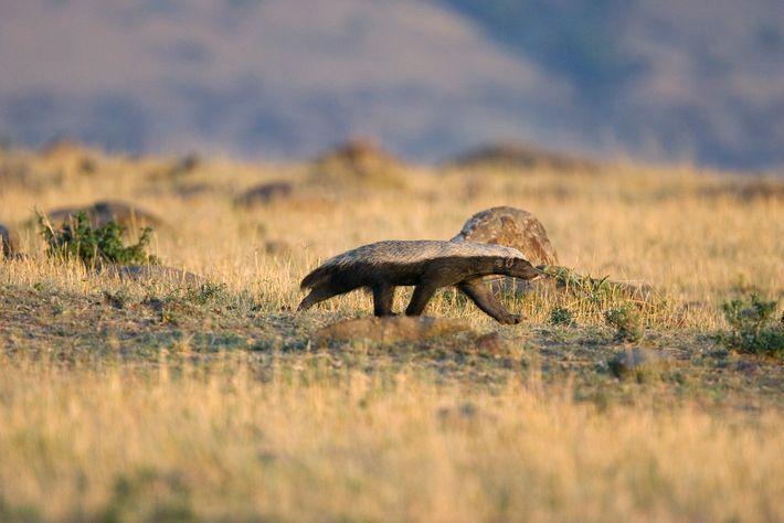 """Os """"texugos-do-mel"""", como este em Masai Mara, não são realmente texugos, mas sim seus parentes."""