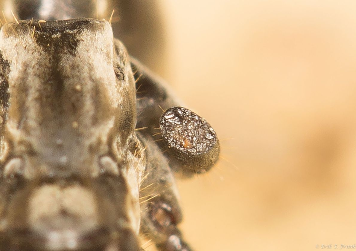 Extremidade do membro de outra formiga
