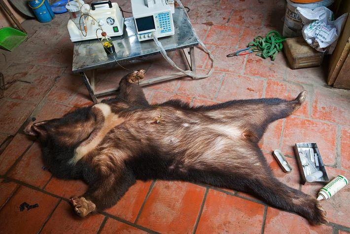 Extração de bílis da vesícula biliar de um urso-negro-asiático sedado. De acordo com a organização sem ...