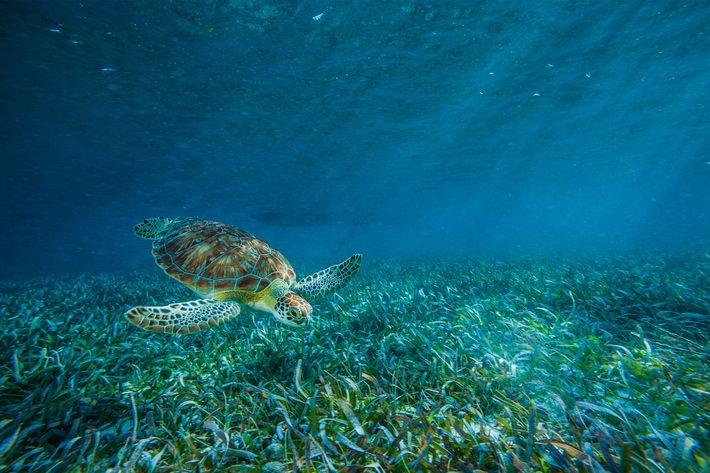 Uma tartaruga marinha alimenta-se de algas na Reserva Marinha de Hol Chan
