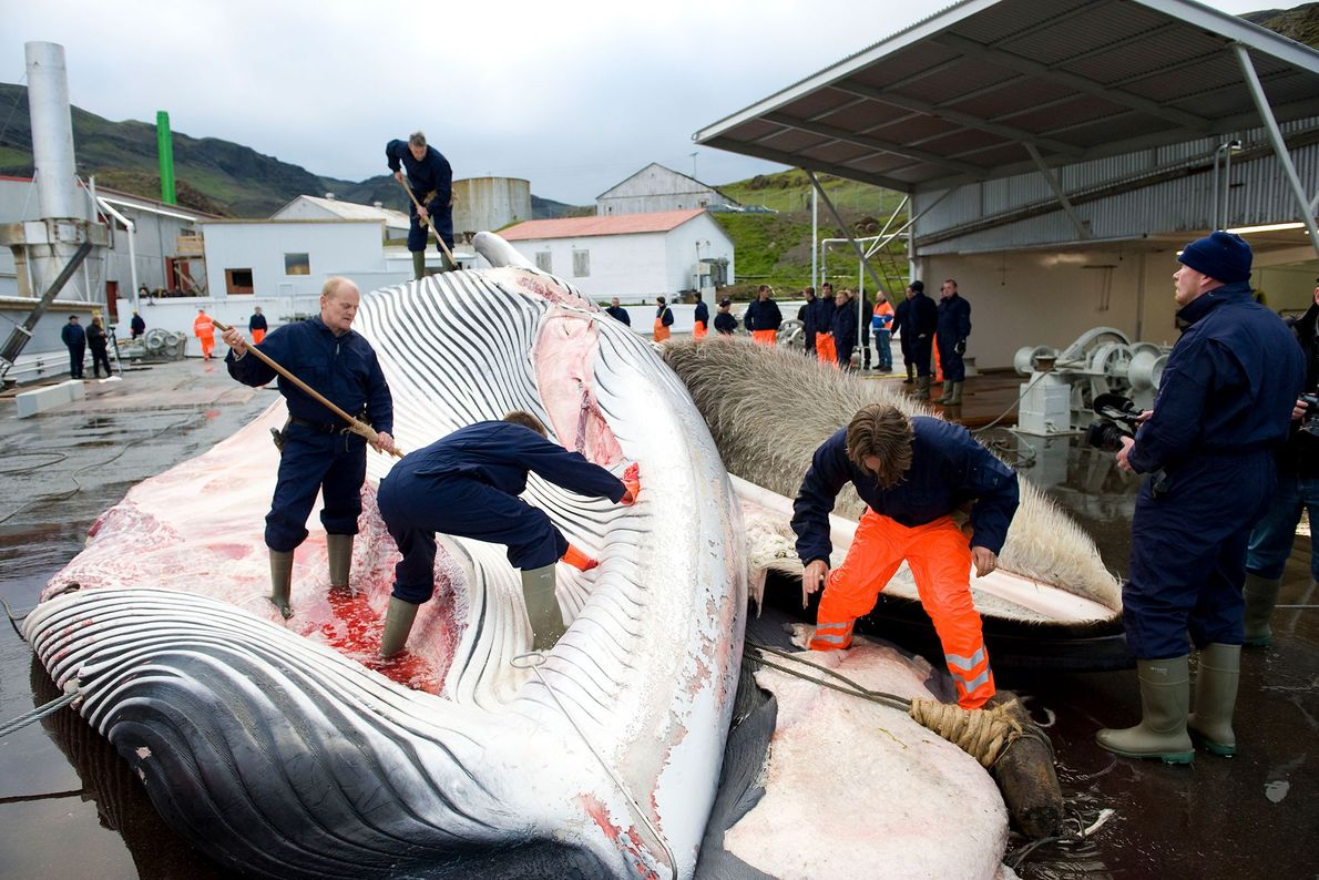 Um grupo de baleeiros abre uma baleia-comum ao largo da costa da Islândia.