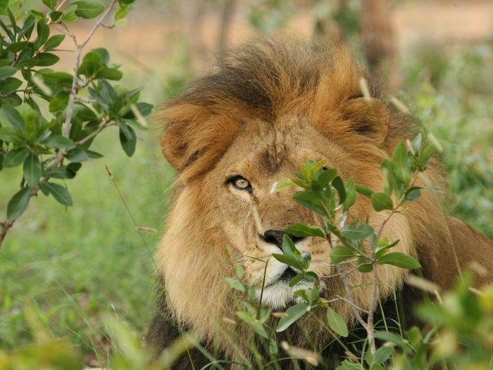 Liso leão resgatado