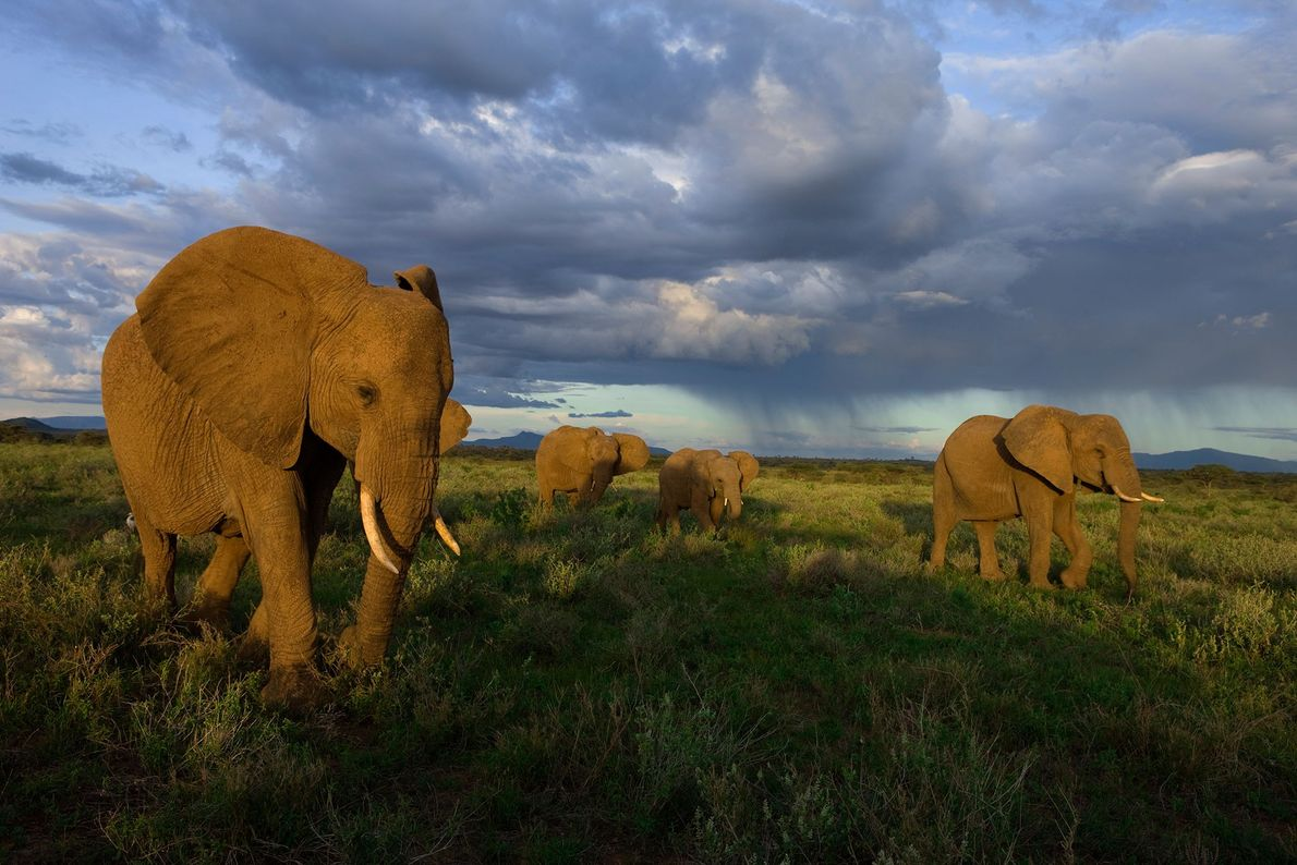 Grupo de elefantes na Reserva Nacional Samburu, no Quénia.
