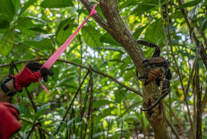 Em Nikumaroro, um investigador marca uma árvore com um caranguejo-dos-coqueiros a observar de perto.