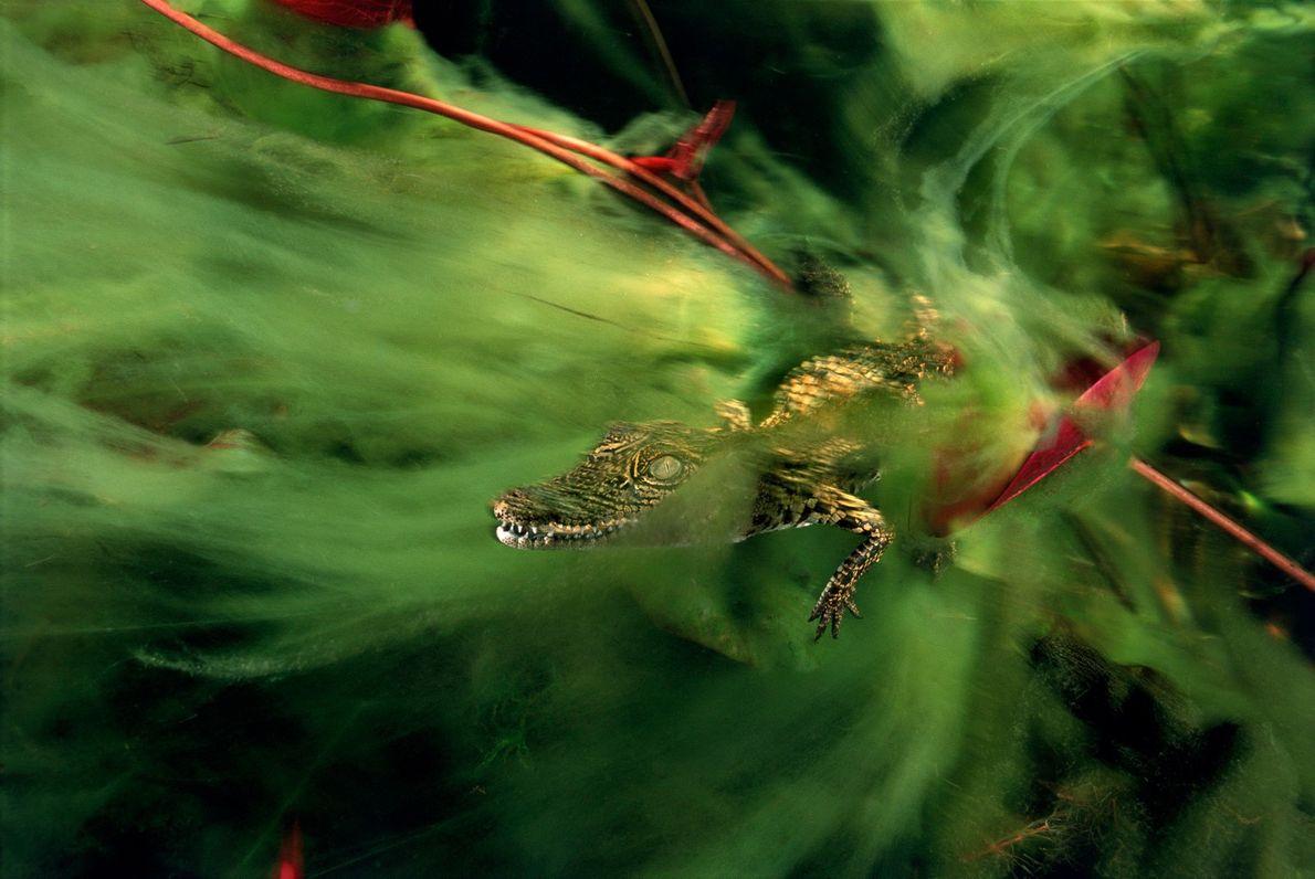 Uma cria de crocodilo-do-nilo esconde-se nas algas no canal de Ncamasere que passa pelo delta de ...