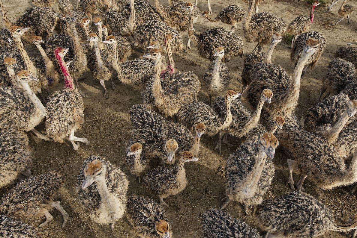 Um bando de avestruzes vagueia numa quinta.