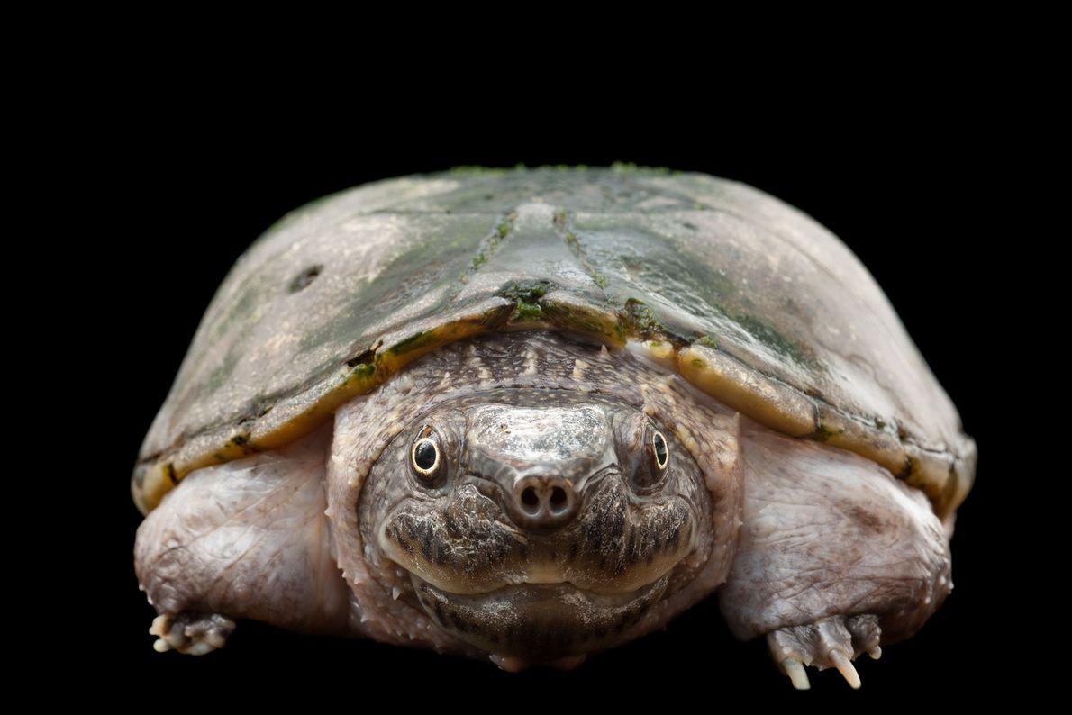 Tartaruga-almiscarada-achatada (Sternotherus depressus)