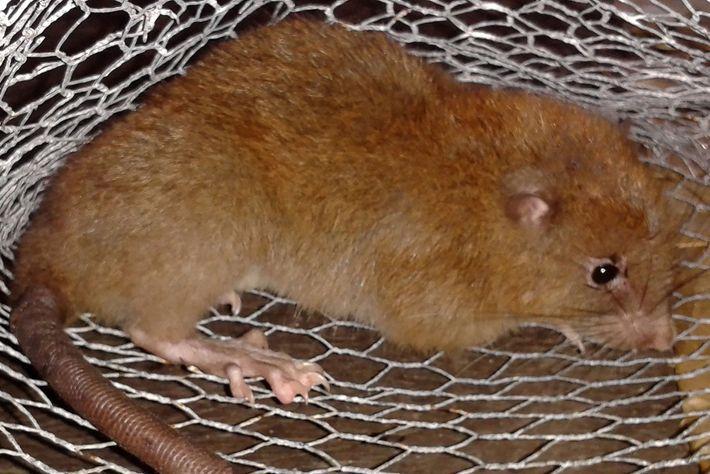 Nova ratazana descoberta