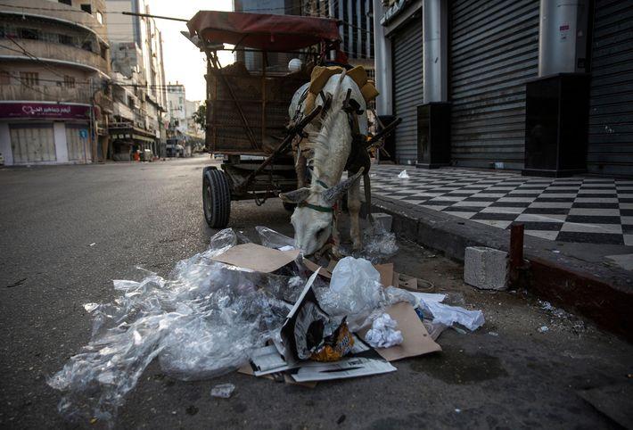 Ao início da manhã, enquanto os trabalhadores limpam as ruas da Cidade de Gaza, um burro ...
