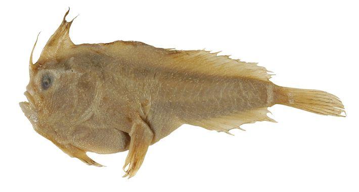 Este é o único espécime conhecido do peixe-mão-liso (Sympterichthys unipennis), recolhido em 1802 e levado para ...