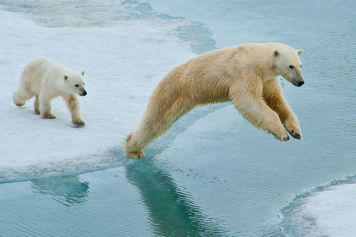 Dois ursos saltam sobre um curso de água