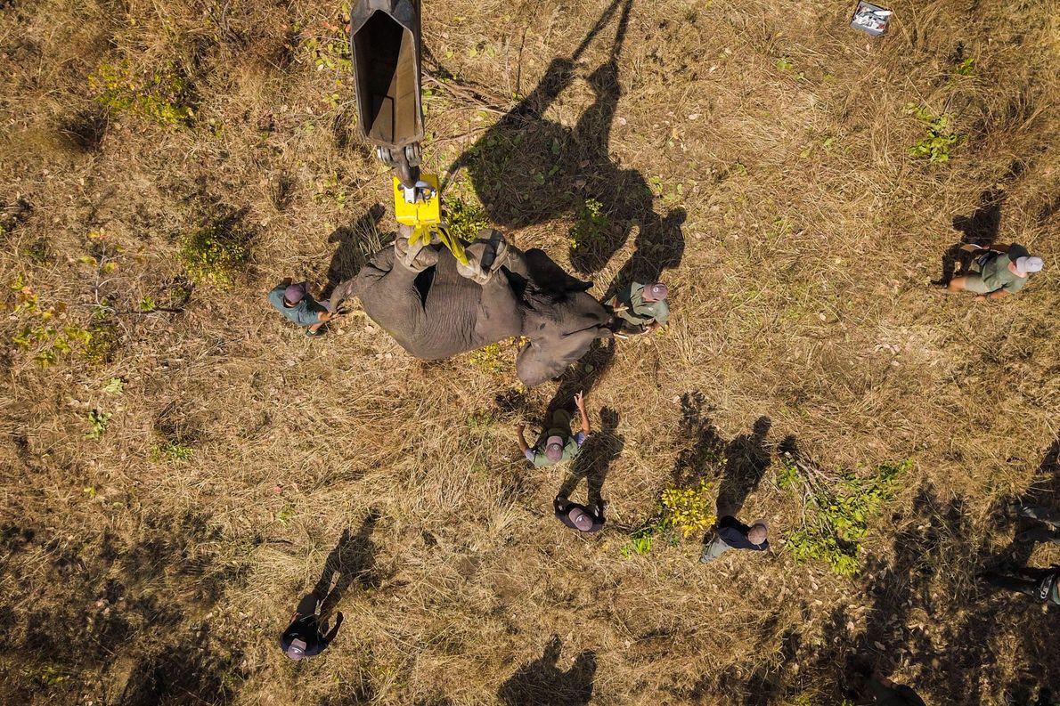 Um dos 520 elefantes a serem realojados