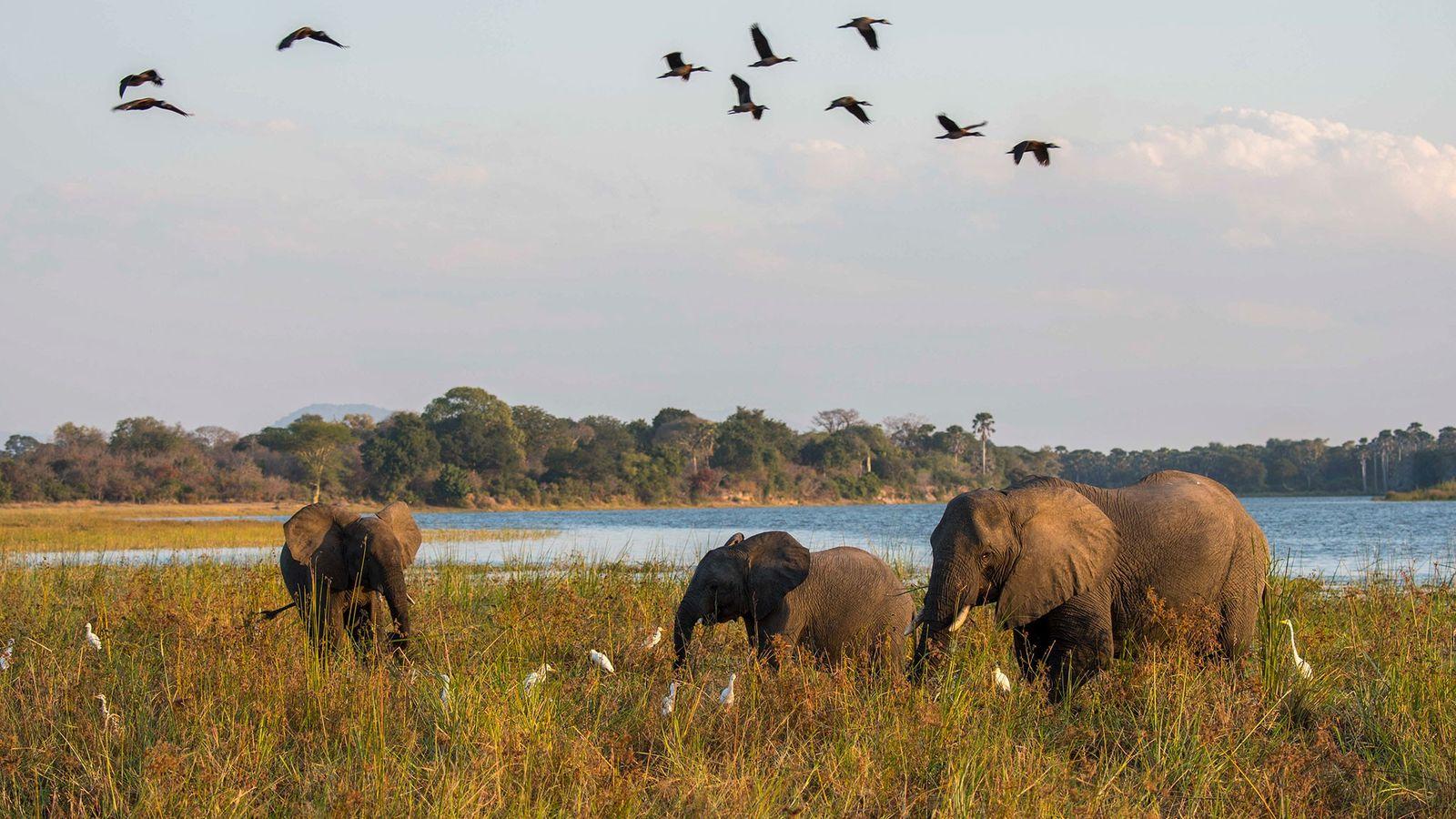 Elefantes-africanos a pastar ao lado do rio Shire, no Parque Nacional de Liwonde, no Malawi. O ...